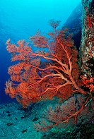 Red Sea Fan, Similan Islands, Thailand
