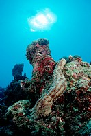 Striated Sea Cucumber at Coral Reef, Bohadschia graeffei, Indian Ocean, Maldives