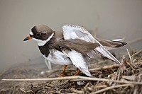 bird, charadrius, plover, mediumsized, vociferus, killdeer