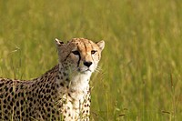 Cheetah stalking through high grasslands