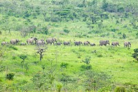 Herd of elephants in the brush