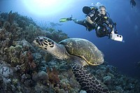 Underwater Photographer and Hawksbill turtle on Red Sea coral reef, Red Sea.