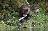 Coastal brown bear Ursus arctos horibilis scavenging for spent pink salmon in a shallow stream on Chichagof Island, Southeast Alaska, USA.