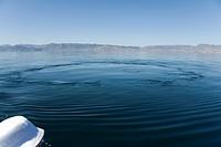 Blue whale Balaenoptera musculus. A blue whale footprint. Gulf of California.