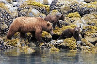 Coastal Brown Bear Ursus arctos horibilis mother with three cubs foraging at low tide. Glacier Bay National Park, Southeast Alaska, USA.