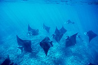 Pacific manta rays over reef in possible mating behaviour West Maui, Hawaii, USA.