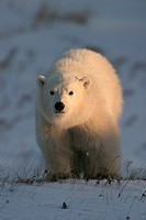 Polar Bear COY Cub of Year, Ursus maritimus, at sunrise coming into the light near Churchill, northern Manitoba, Hudson Bay, Canada