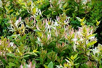 An early growth of honeysuckle shows varied colors, Pennsylvania, USA