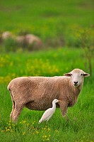 Sheep and a bird standing in a field, Maui, Hawaii, USA