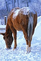 horse nature winter rear view brown foraging in