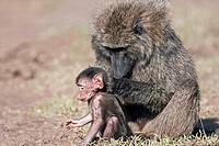 Savanna baboon Olive race (Papio cynocephalus anubis) infant male aged about 1 month trying to eat soil while being groomed, Maasai Mara National Rese...
