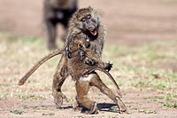Savanna baboon Olive race (Papio cynocephalus anubis) juvenile males play fighting, Maasai Mara National Reserve, Kenya