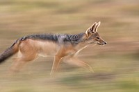 Black backed jackal (Canis mesomelas) running -panned effect-, Maasai Mara National Reserve, Kenya