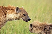 Spotted hyena (Crocuta crocuta) female with pup, Maasai Mara National Reserve, Kenya