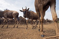 Eastern White-bearded Wildebeest (Connochaetes taurinus) herd -wide angle perspective-, Maasai Mara National Reserve, Kenya