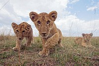 Inquisitive lion (Panthera leo) cubs -wide angle perspective-, Maasai Mara National Reserve, Kenya