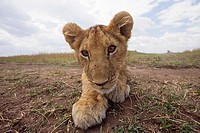 Inquisitive lion (Panthera leo) cub -wide angle perspective-, Maasai Mara National Reserve, Kenya
