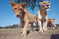 Lioness (Panthera leo) and adolescents curiously approaching -wide angle perspective-, Maasai Mara National Reserve, Kenya