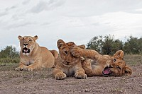 Lion (Panthera leo) cubs - 6 months old - playing with lioness looking on -wide angle perspective-, Maasai Mara National Reserve, Kenya
