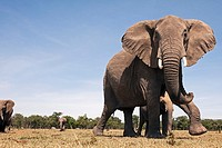 African elephant (Loxodonta africana) showing defensive behaviour to protect young -wide angle perspective-, Maasai Mara National Reserve, Kenya