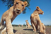 Lion (Panthera leo) adolescents approaching with curiosity -wide angle perspective-, Maasai Mara National Reserve, Kenya