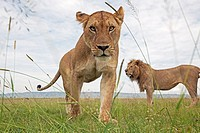 Mature lioness (Panthera leo) with male in the background -wide angle perspective-, Maasai Mara National Reserve, Kenya