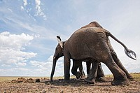 African elephants (Loxodonta africana) drinking at a water hole -wide angle perspective-, Maasai Mara National Reserve, Kenya