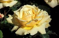 DIAMOND JUBILEE FLORIBUNDA ROSE ROSE