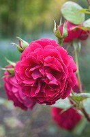 ROSA ´ROSE OF PICARDY´