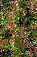 BERBERIS ´RED JEWEL´