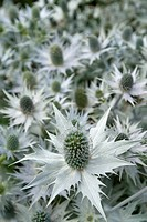 ERYNGIUM, SILVER SEA HOLLY