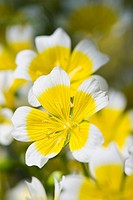 LIMNANTHES DOUGLASII _ POACHED EGG PLANT