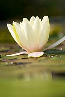 NYMPHAEA _ YELLOW WATER LILY