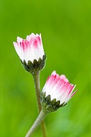 BELLIS PERENNIS _COMMON DAISY