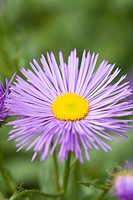 ERIGERON _ DUNKELSTE ALLER DARKEST OF ALL
