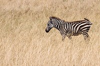 A young zebra on the plains of the Masai Mara