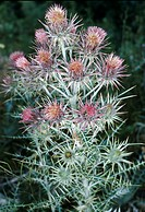 PTILOSTEMON AFER SYN. CIRSIUM DIACANTHUS.ONCE ITS SEED IS SET ITS DIES.