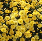 CHRYSANTHEMUM ´NANTYDERRY SUNSHINE´