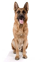 Front Length Portrait of a German shepherd dog sitting.