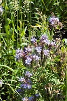 PHYTEUMA HORNED RAMPION