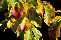 FOTHERGILLA MAJOR AUTUMN COLOUR