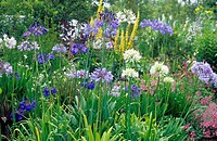 BED OF MIXED AGAPANTHUS VARIETIES
