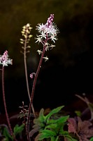 TIARELLA ´STARBURST´ FOAMFLOWER