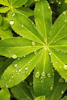 RAINDROPS ON LUPINUS LEAVES