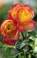 ROSA ´PULLMAN ORIENTAL _ EXPRESS´ ROSE. COLLECTION MICHEL ADAM. JULY