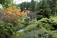 GARDEN BUSHES IN SPRING. ORANGE IN CENTRE : RHODODENDRON ´GOLDEN EAGLE´. BOTANICAL GARDEN OF GONDREMER