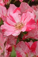 ROSA ´HUGUES AUFFRAY´ ROSE