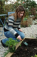 PLANTING OF PARSLEY CURLY CURLED . PERSON PREPARANT LE HOLE. PLANTS AROMATIC SCENTED FRAGRANTS. GARDEN MAP
