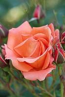 ROSA ´WESTERLAN ROSE. HYBRIDMODERN. BREEDER : KORDES 1969. ROSERAIE ANDRE EVE. PITHIVIERS.