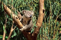 Koala Phascolarctos cinereus in eucalyptus tree Australia
